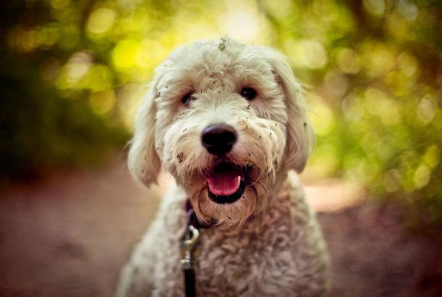 Best Designer Dog Breeds For Families