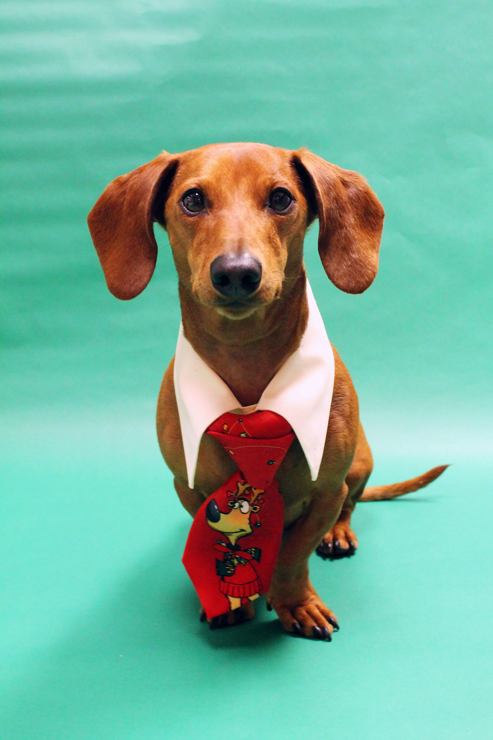 DIY Christmas Outfit for Dogs